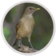 Clay-colored Thrush Round Beach Towel