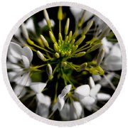 Cleome In Bloom Round Beach Towel