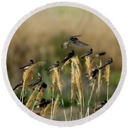 Cliff Swallows Perched On Grasses Round Beach Towel