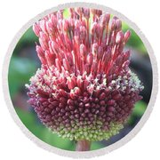 Close Up Of An Ornamental Onion Or Drumstick Allium  Round Beach Towel