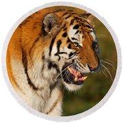 Closeup Portrait Of A Siberian Tiger  Round Beach Towel
