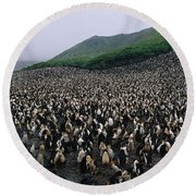 Colony Of Royal Penguin Eudyptes Round Beach Towel