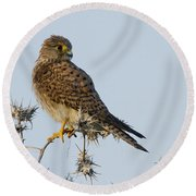 Common Kestrel Falco Tinnunculus 3 Round Beach Towel
