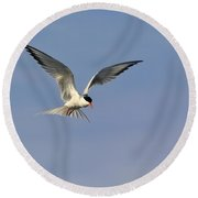 Common Tern Hovering Round Beach Towel by Tony Beck