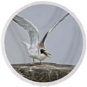 Common Tern Pictures 34 Round Beach Towel