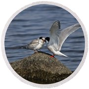 Common Tern Pictures 48 Round Beach Towel