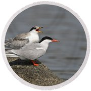 Common Tern Pictures 76 Round Beach Towel