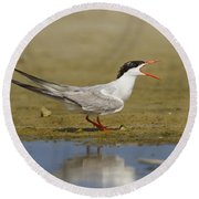Common Tern Sterna Hirundo Round Beach Towel by Eyal Bartov
