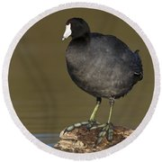 Coot On A Log Round Beach Towel