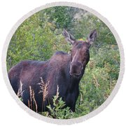 Cow Moose Portrait Round Beach Towel