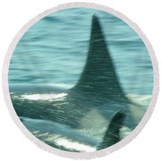 Cow Orca And Her Calf Round Beach Towel
