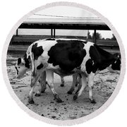 Cows Coming And Going Round Beach Towel