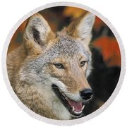 Coyote In Maple Round Beach Towel