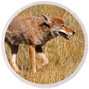 Coyote In Rocky Mountain National Park Round Beach Towel