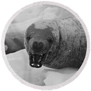 Crabeater Seal.. Round Beach Towel