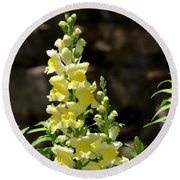 Creamy Yellow Snapdragon Round Beach Towel
