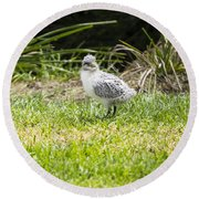 Crested Tern Chick - Montague Island - Australia Round Beach Towel