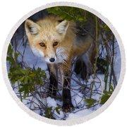 Curious Red Fox Round Beach Towel