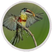 Curl-crested Aracari About To Perch Round Beach Towel