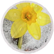 Daffodil In Spring Snow Round Beach Towel