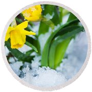 Daffodils In The Snow  Round Beach Towel