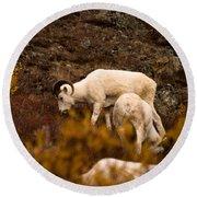 Dall Sheep Grazing Round Beach Towel