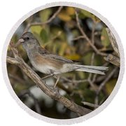 Dark-eyed Junco Round Beach Towel