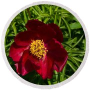 Deep Red Peony With Bright Yellow Stamens  Round Beach Towel