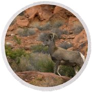 Desert Bighorn Sheep Round Beach Towel