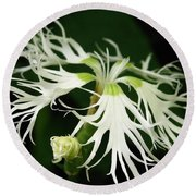 Dianthus Superbus - White Round Beach Towel