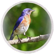 Eastern Bluebird - After His Bath Round Beach Towel