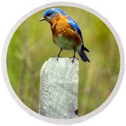Eastern Bluebird Pose Round Beach Towel