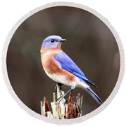 Eastern Bluebird - The Old Fence Post Round Beach Towel