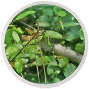 Eastern Pondhawk Female Dragonfly - Erythemis Simplicicollis - On Pine Needles Round Beach Towel