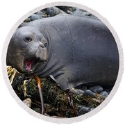 Elephant Seal Of Ano Nuevo State Reserve Round Beach Towel