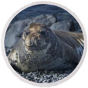 Elephant Seal Pup... Round Beach Towel