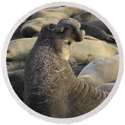 Elephant Seals Round Beach Towel