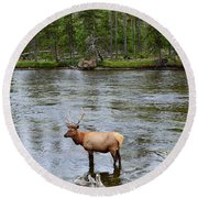 Elk Stag In The Madison River Of Yellowstone National Park Round Beach Towel