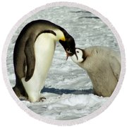 Emperor Penguin Chick Feeding Round Beach Towel