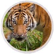 Endangered Species Sumatran Tiger Round Beach Towel