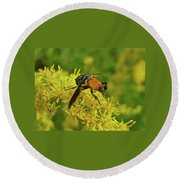 Feather-legged Fly On Goldenrod - Trichopoda Round Beach Towel