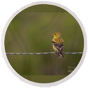 Female American Goldfinch Round Beach Towel