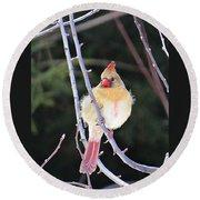 Female Cardinal In Tree Round Beach Towel