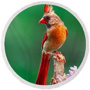 Female Cardinal Posing Pretty  Round Beach Towel