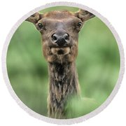Female Elk Portrait Yellowstone National Park Wyoming Round Beach Towel