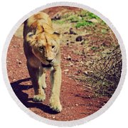 Female Lion Walking. Ngorongoro In Tanzania Round Beach Towel
