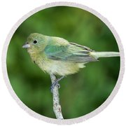 Female Painted Bunting Passerina Ciris Round Beach Towel