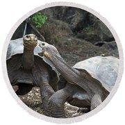 Fighting Galapagos Giant Tortoises Round Beach Towel