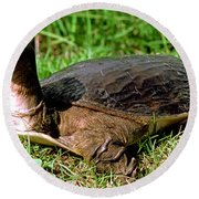Florida Softshell Turtle Apalone Ferox Round Beach Towel