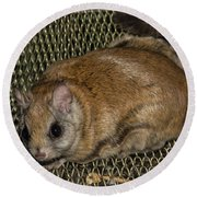 Flying Squirrel On The Feeder Round Beach Towel
